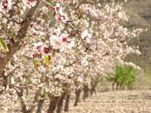 Almendros en flor en finca Viña Elena
