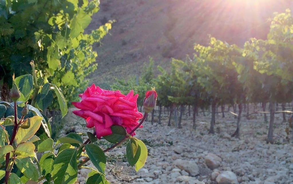 Las rosas de Paco Pacheco