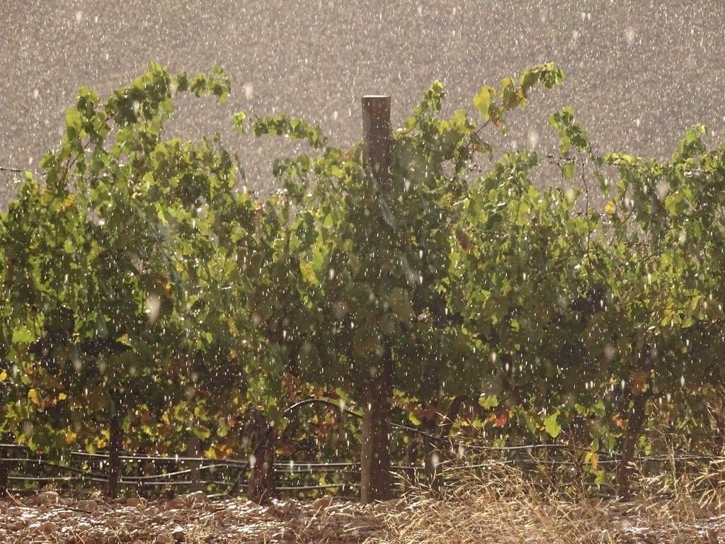 Lluvia en Paraje Marín, Monastrell en espaldera